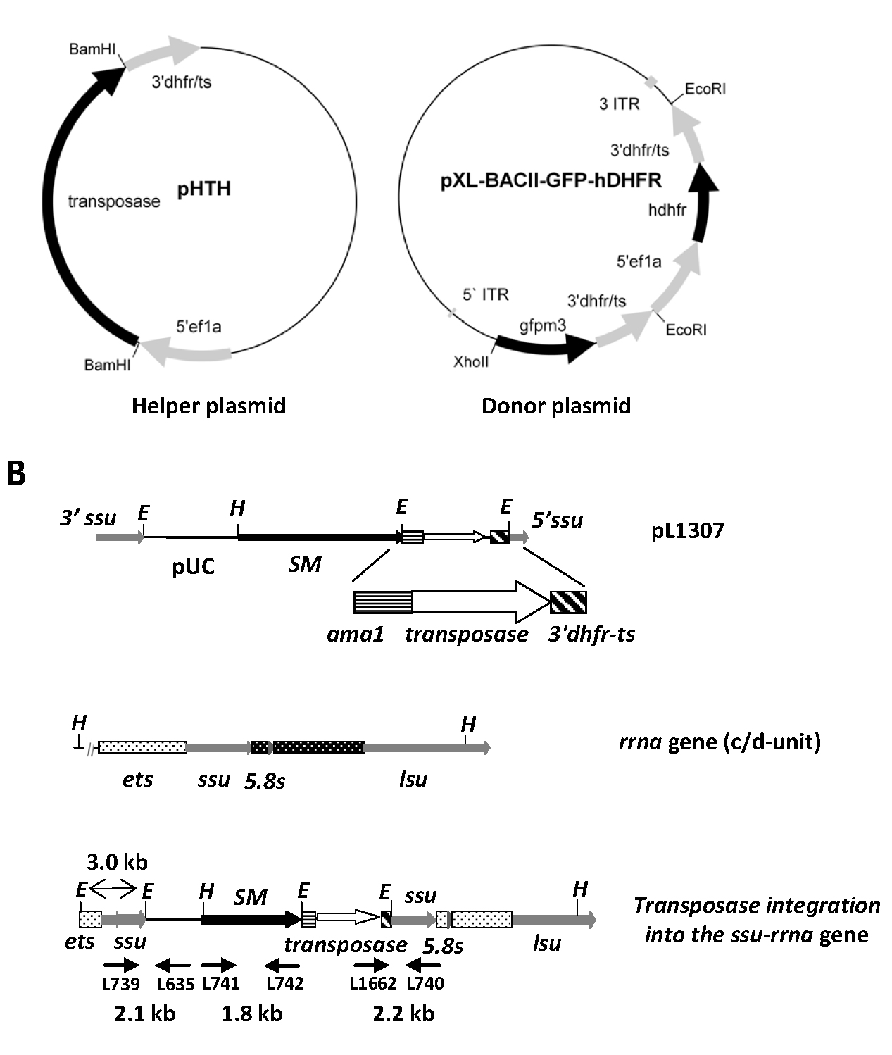 novel peptide rna sequence targeting malaria parasite Involved in pathogenesis in the malaria parasite via novel subnetwork alignments is considered to be a potential antimalarial target due to its essentiality for parasite life cycle [67] a ribosomal subunit export protein for rna transport, and (5.